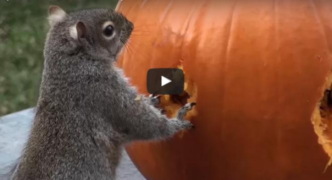 Nem fogod kitalálni mit csinál a mókus egy sütőtökkel! VIDEÓ