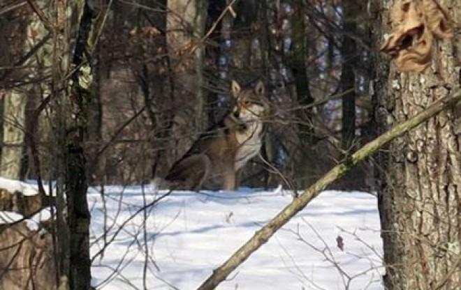 Farkasok Ungvár mellett!